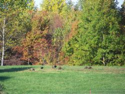 Wild turkeys out on a beautiful fall day.