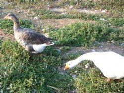 Brutus finally decides he is a goose, and gets a wife.