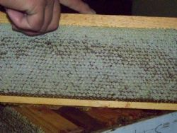 Frames of Capped Honey.