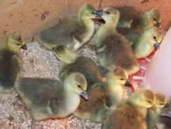 Geese For Sale, Various ages, Prices Vary on Age