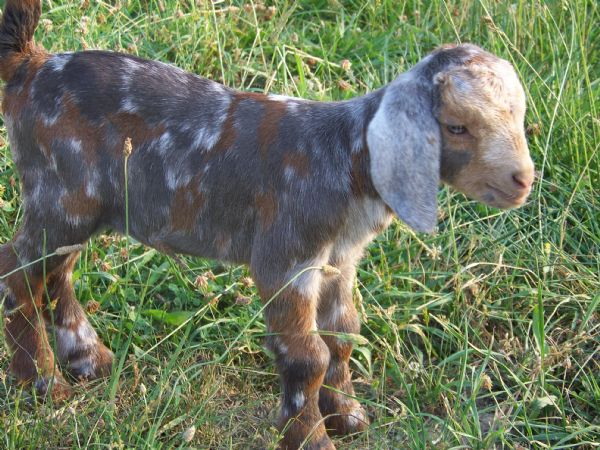 Cami - Red Boer Goat Doe