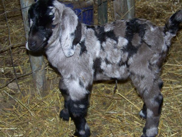 The gallery for --> Baby Boer Goats