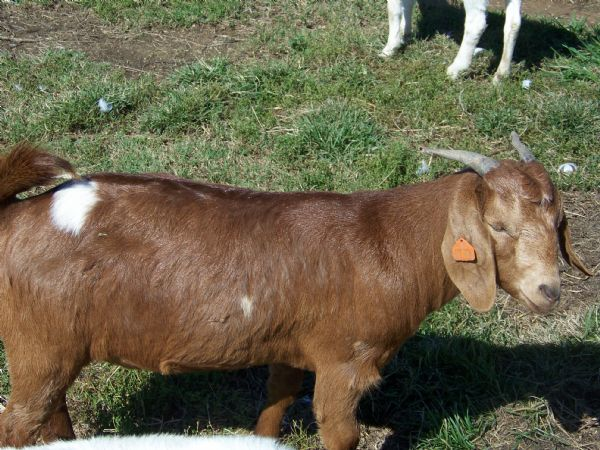 THDL SPOTTED DEERE'S 88% Red Doe with Spots - Boer Goat Doe
