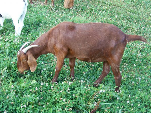 Paul's Star PRS7 Fullblood Red Doe - Red Boer Goat Doe