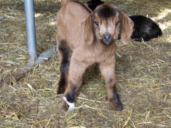 Mable's 50% Red Doe - Boer Goat New Kid