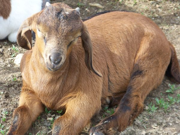 Milly's Red Commercial Buck - Boer Goat New Kid