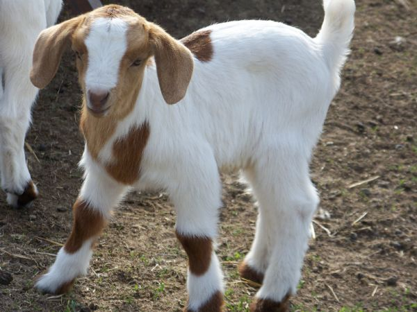 Milly's Spotted 75% Doe - Boer Goat New Kid