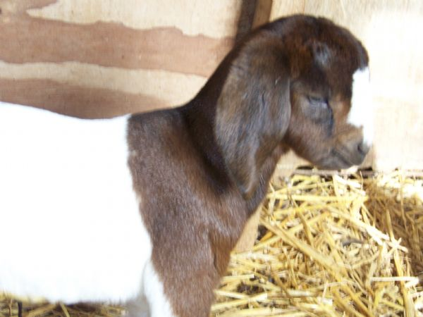 THDL Ruthie's 75% Doe #1 - Boer Goat New Kid